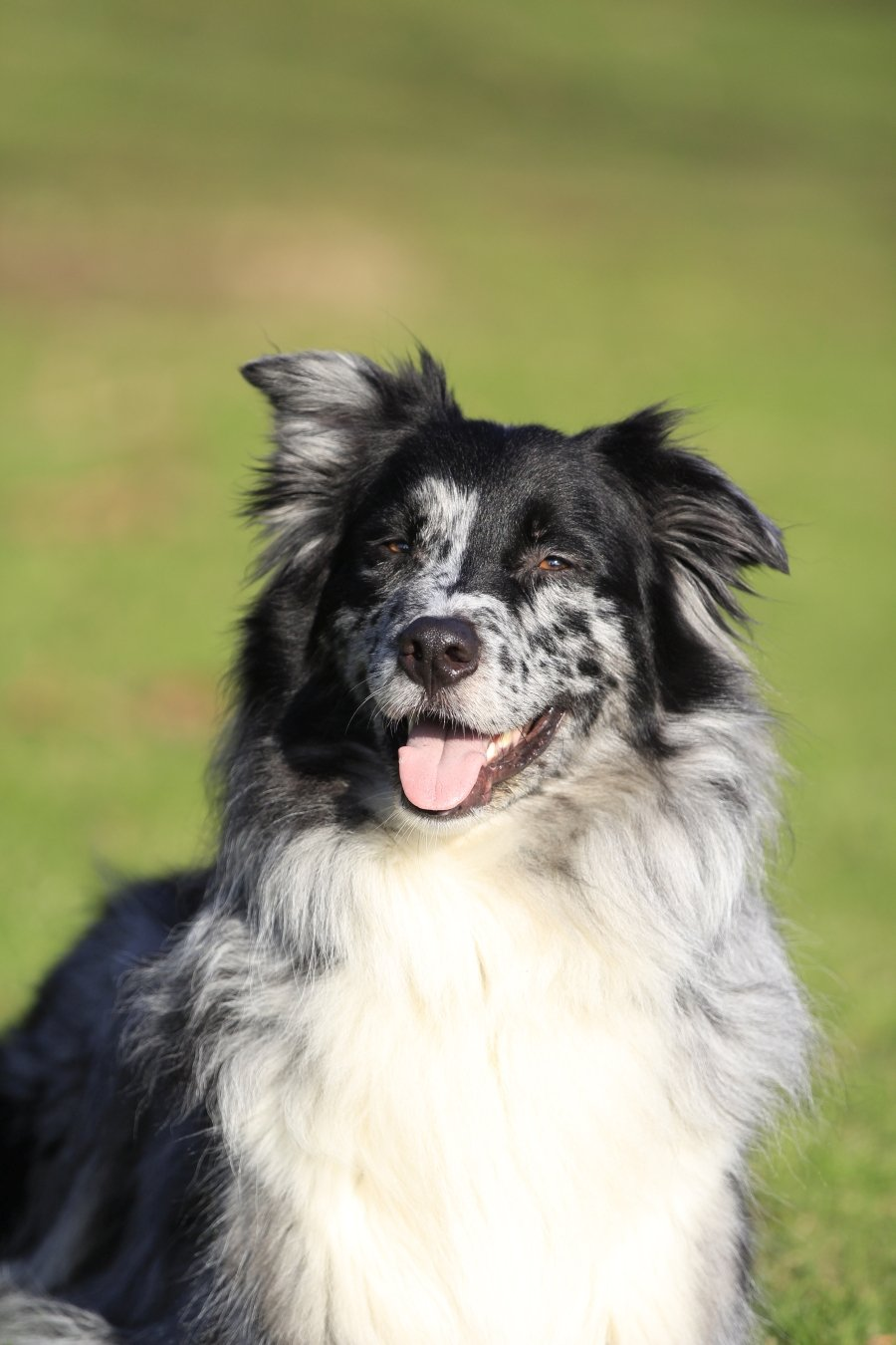 Zuchter Aus Nordrhein Westfalen Australian Shepherd Aussie De