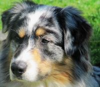 shepherd-lakelands-shadow-man-blue-merle