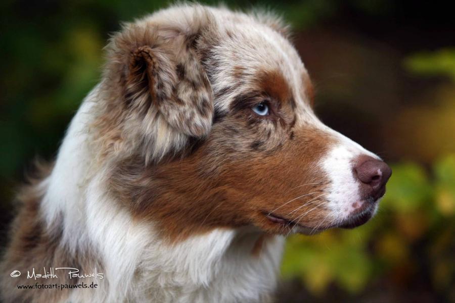 Zuchter Aus Bayern Australian Shepherd Aussie De