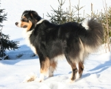 Sammy Sweet Aussie of Lohmar