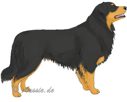 black-bi-copper-black-tan-marks Australian Shepherd-copper trim