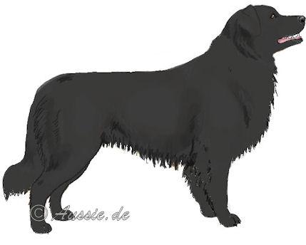 black-solid-einfarbig- australian-shepherd-aussie
