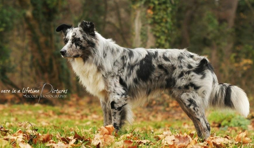 blue merle bi w white