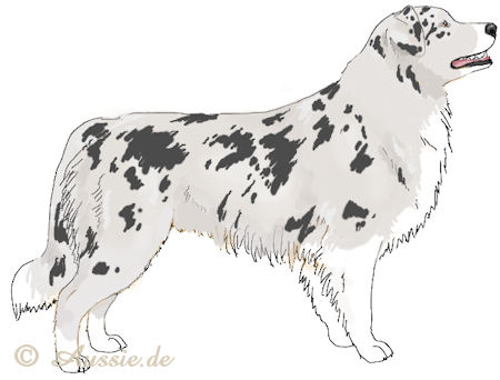 Blue merle - w - white trim - weiss