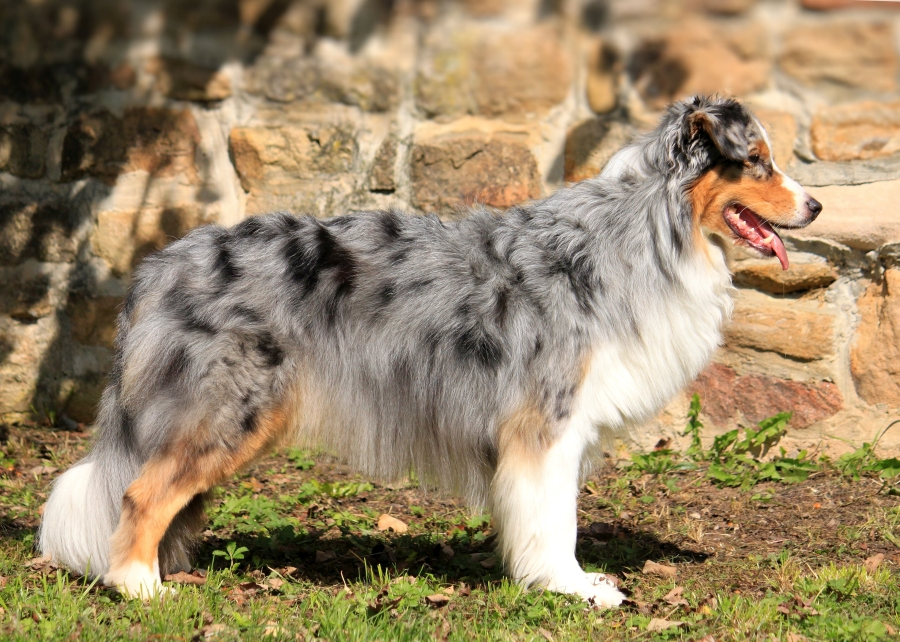 blue merle copper white