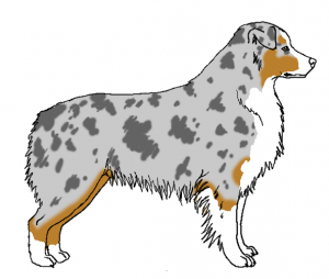 Dilute Blue Merle Dilution merle silver