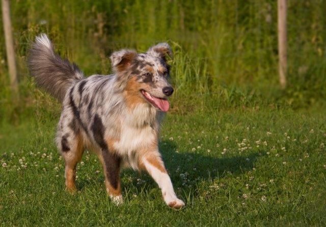 blue merle dilute