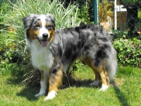 dunkles blue merle steel blue