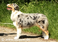 helles blue merle powder blue merle