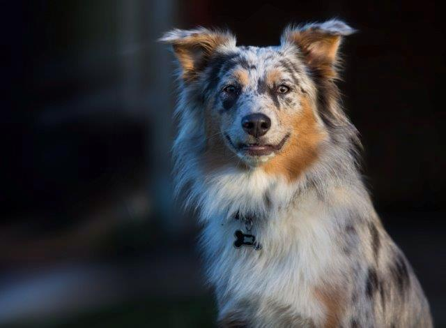 Dilute Blue merle