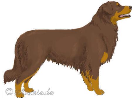 australian shepherd aussie red bi copper tan