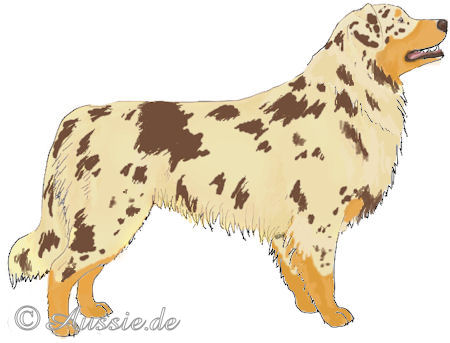 Red merle c copper trim tan bi